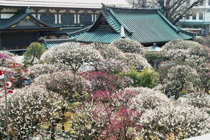 Bunkyo Ume Matsuri o Festival de los Ciruelos de Bunkyo @ Santuario Yushima Tenmangū  | Bunkyō-ku | Tōkyō-to | Japón