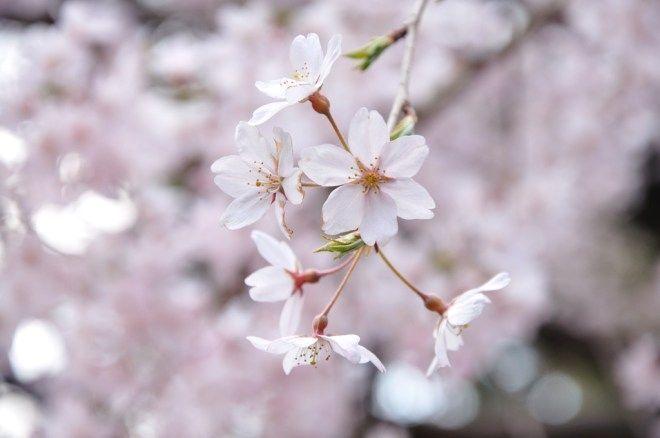 Flor del cerezo japonés (桜, sakura)