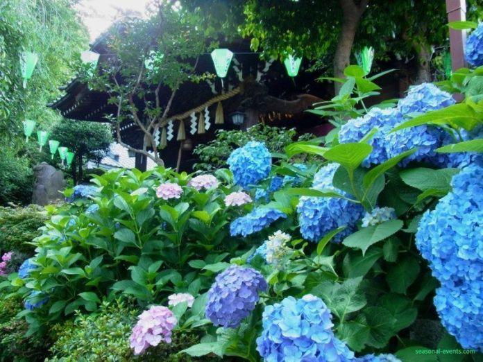 Hortensias en junio en Japón
