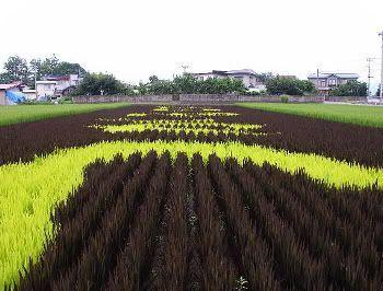 Diversas variedades de arroz conforman los enormes tapices naturales de Inakadate