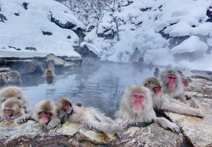 Macacos bañándose en aguas termales en Jigokudani (prefectura de Nagano, Japón)