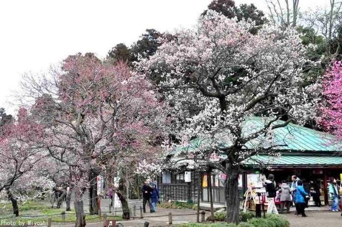 Festivales de Japón: Festival de los Ciruelos en Flor de Mito o Mito No Ume Matsuri (水戸の梅まつり) en la prefectura de Ibaraki, al noroeste de Tokio