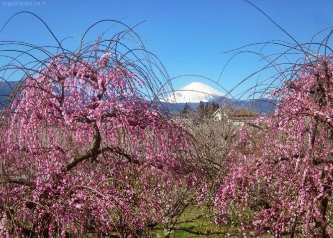 El Odawara Ume Matsuri (小田原梅祭り) o Festival de los Ciruelos de Odawara. Soga Bairin. El Monte Fuji al fondo