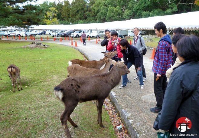 Viajar a Japón: excursión a Nara. Ciervos sika en el parque de Nara