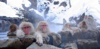 Invierno en Japón: Monos en el parque Jigokudani (Nagano, Japón)
