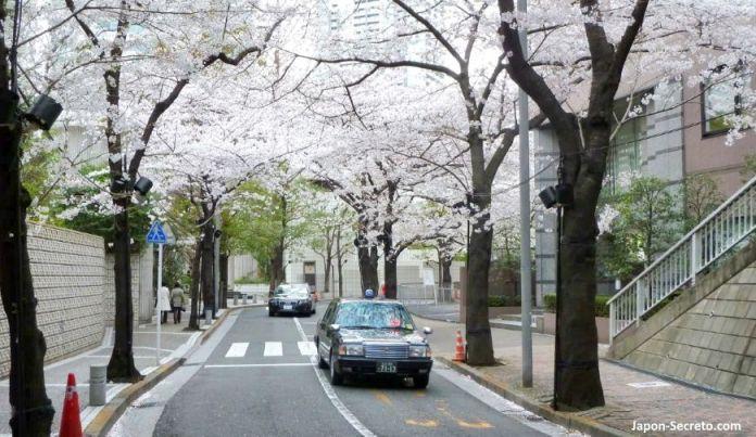 Cerezos en flor (sakura) en Japón. Primavera. Tokio.