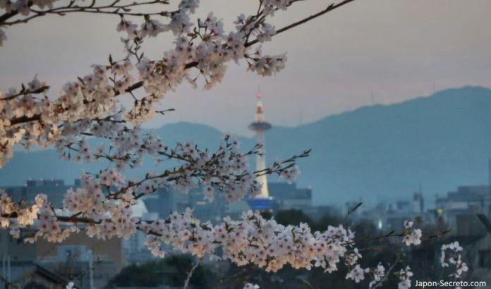 Cerezos en flor (sakura) en Japón. Primavera. Torre de Kioto al anochecer.