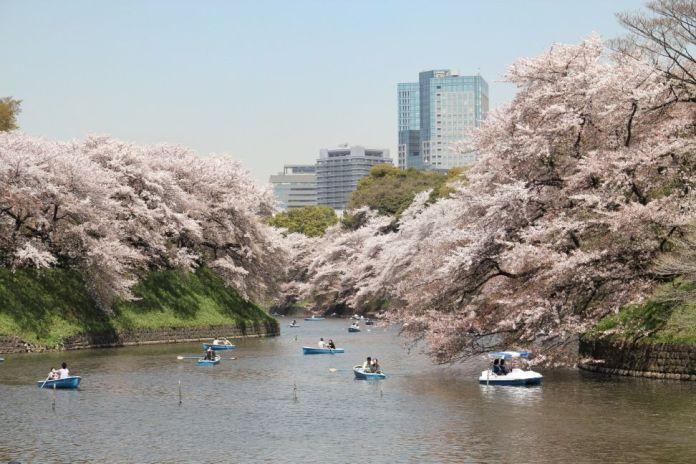 Chidorigafuchi. Ver flores de cerezo o sakura en Tokio. Primavera.