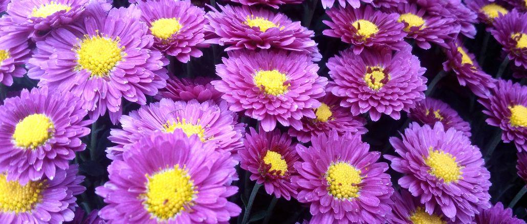 Kwiaty - hana - słówka japońskie - japońskie nazwy kwiatów