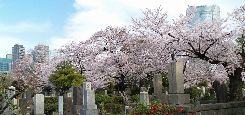 Hanami w Tokio Cmentarz Aoyama