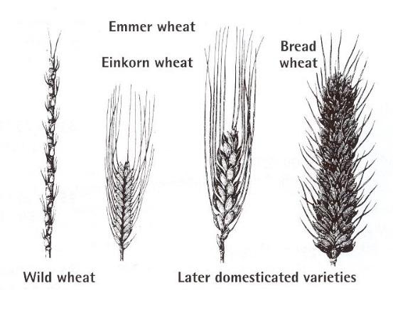 evolució del blat