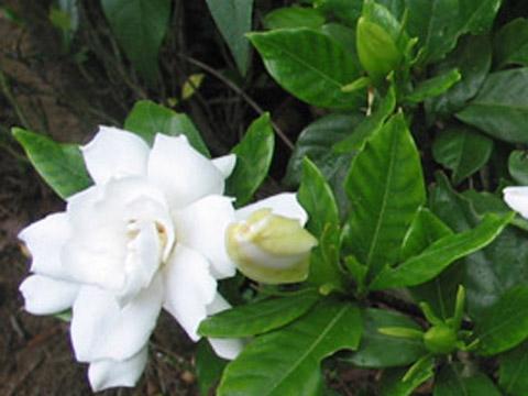 gardenia gardenia jasminoide