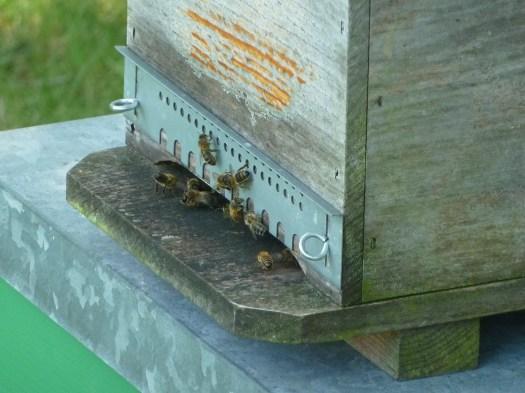 Les abeilles à l'entrée de la ruchette