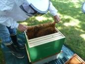 Pose du premier cedre dans la ruche