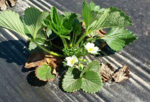 Fraisier en début de floraison
