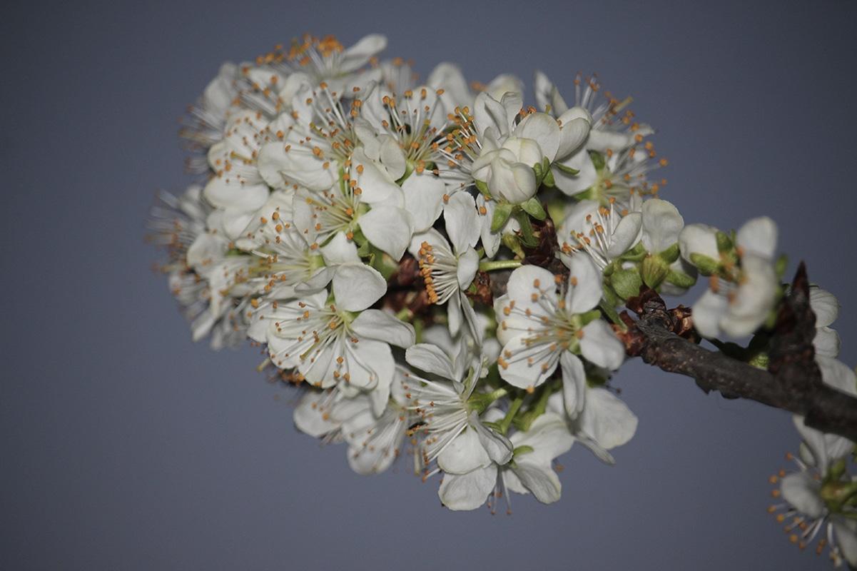 8 choses a connaitre sur les cerisiers