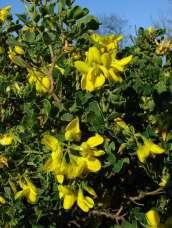 Coronilla valentina zuhaixka(perenne)