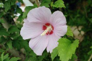 Hibiscus-syriacus-Eleizalde-hostogalkor-zuhaixka kaduka.
