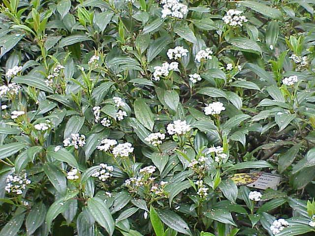 Viburnum davidii zuhaixka(perenne)