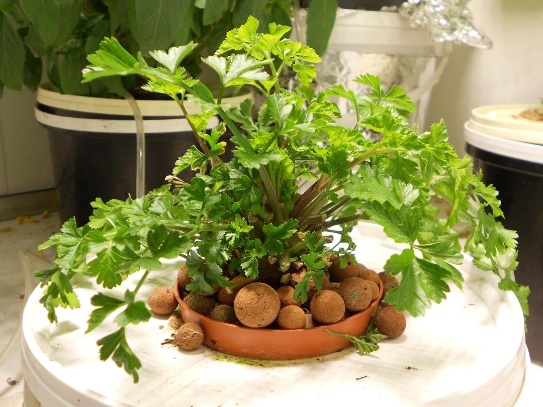 Comment Planter Les Graines De Persil culture de persil en hydroponie - jardin futé