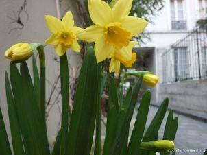 Narcisses soleil, mars 2015
