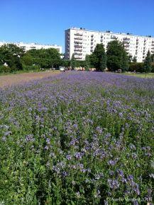Champ de phacélie, Parc des Beaumont, juin 2015