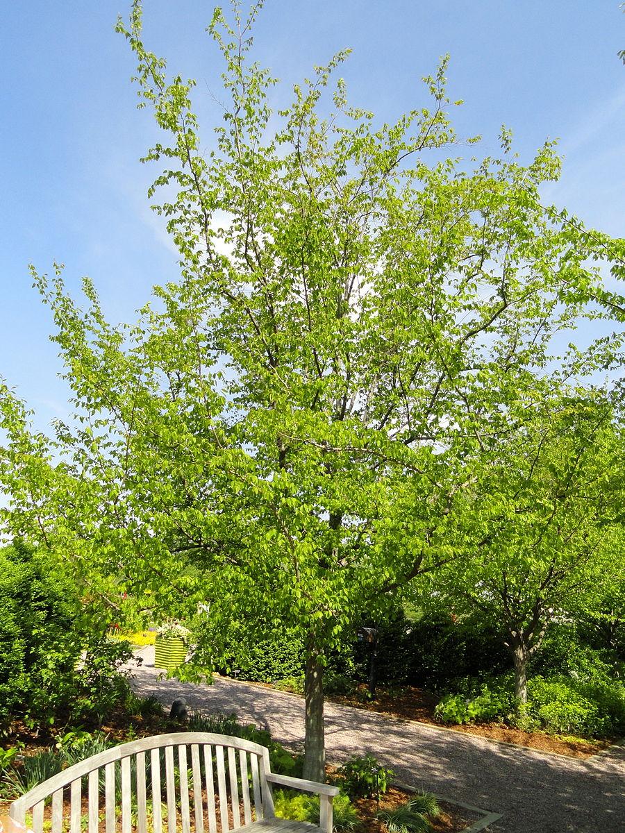 20170907F Carpinus_caroliniana, Daderot, WC.JPG