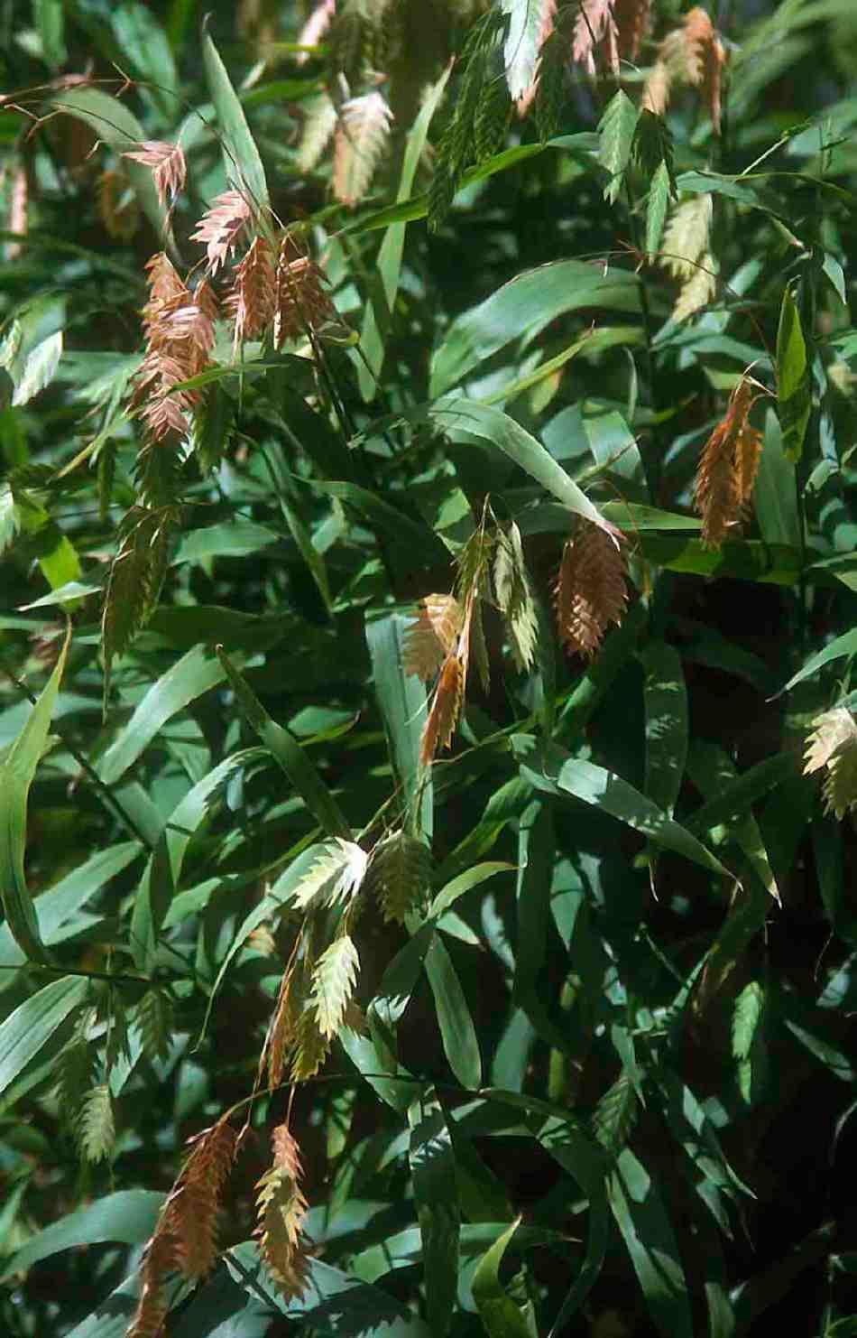 20171017B Chasmanthium latifolium HC