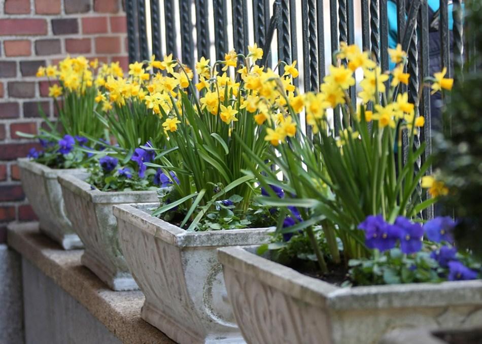 Narcissus.Tete-a-tete LongfieldGardens.jpg