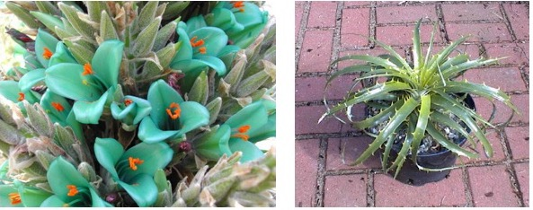 20171114B worldoffloweringplants.com agloriousgarden.blogspot.ca.jpg