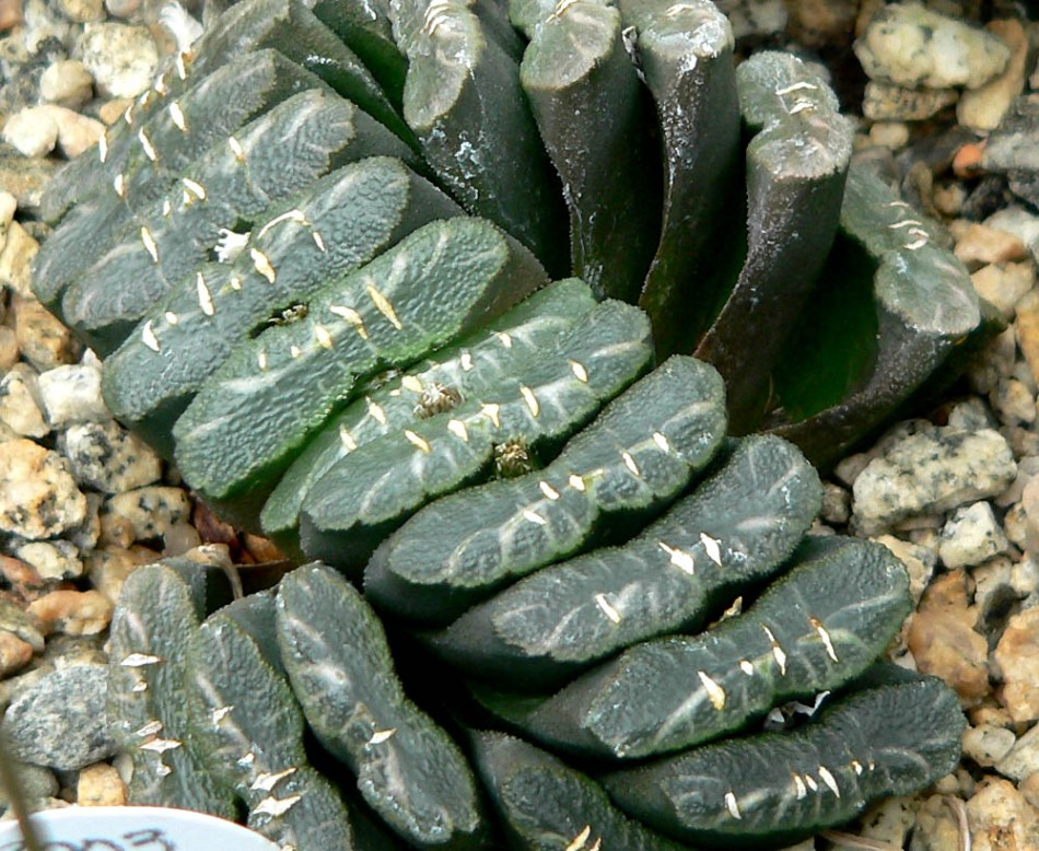 20180119N Haworthia truncata, Stan Shebs, WC.jpg