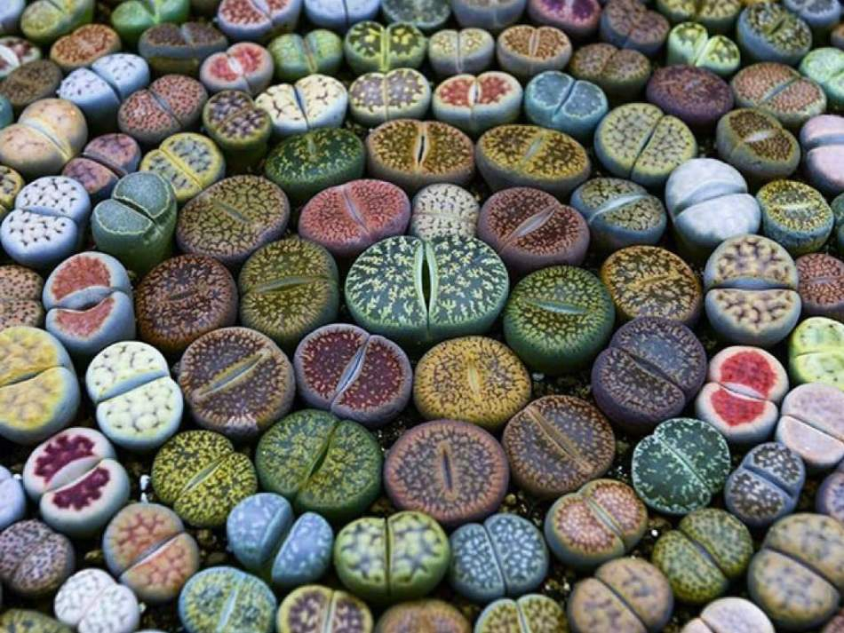 20180119R Lithops worldofsucculents.com.jpg
