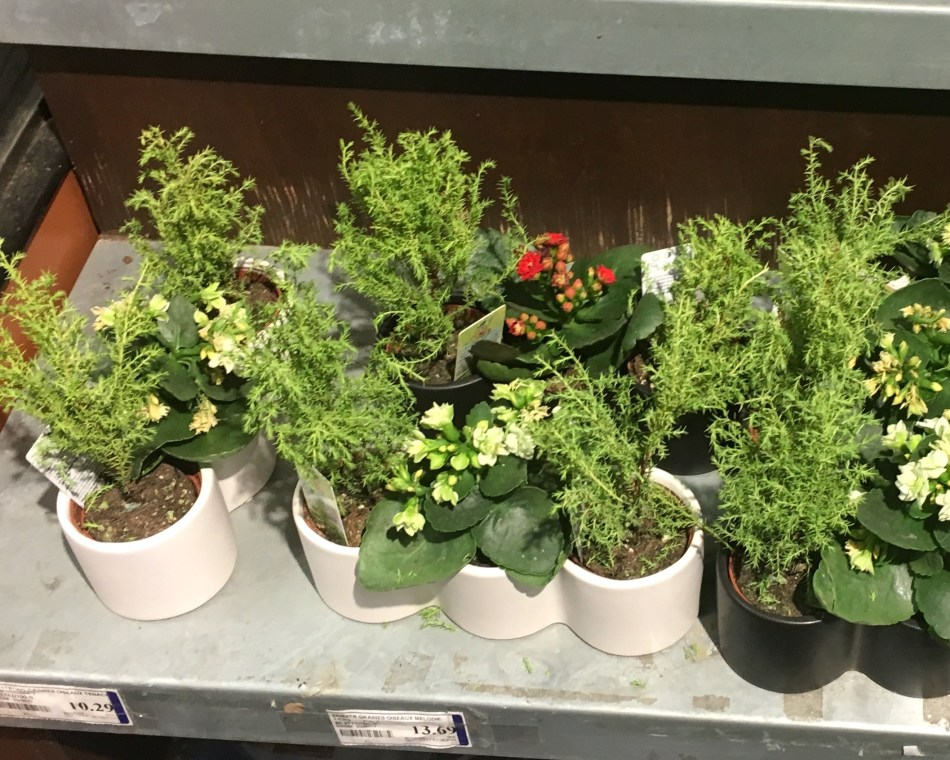 20180123A Cupressus macrophylla 'Goldcreat', HC.jpg