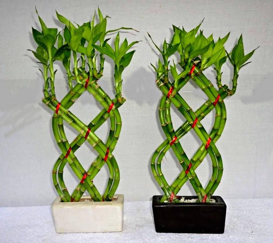 20180218E thebonsaiplants.com.jpg