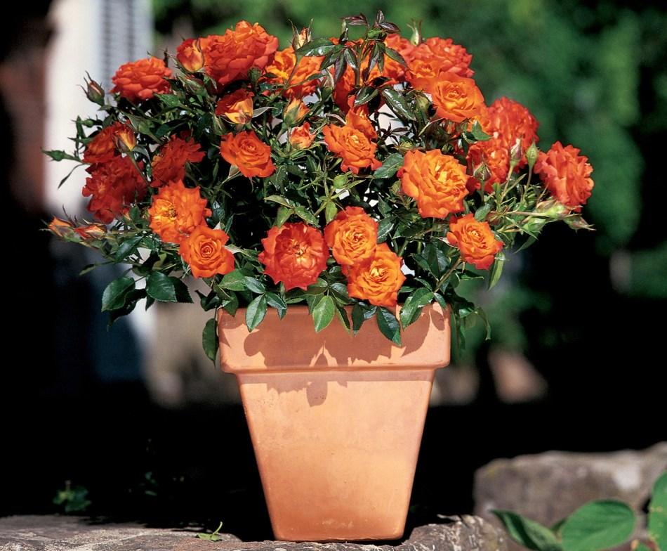 20180423G Mandarin Sunblaze. www.starrosesandplants.com.jpg