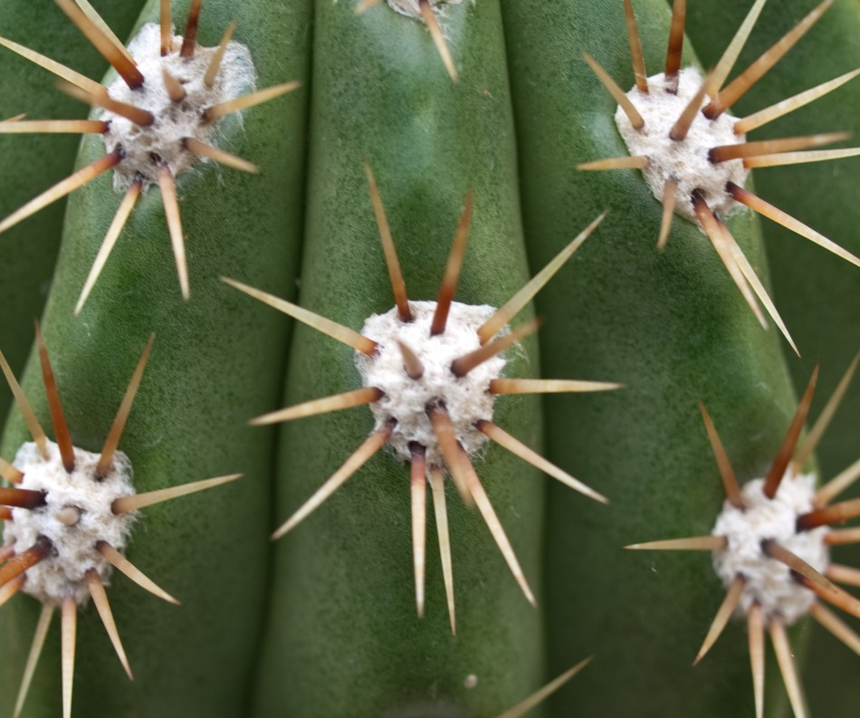 20180919C Echinopsis_candicans_www.krypton.ovh.jpg