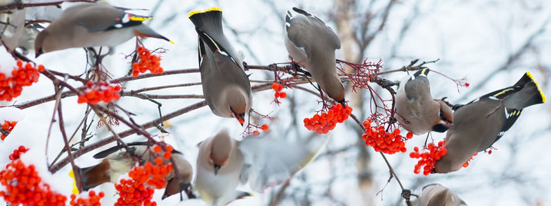 drunk-birds-canada-waxwings-header