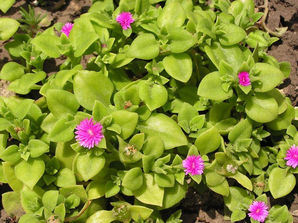 ficoïde à feuilles en cœur (Mesembryanthmeum cordifolium) à feuilles cordiformes vertes et à fleurs étoilées magenta-violet