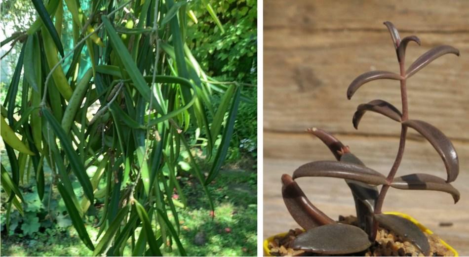 Hoya longifolia, feuilles longues, étroites, épaisses et vertes.  , Kalanchoe beauverdii: feuilles longues, étroites, épaisses et brunes