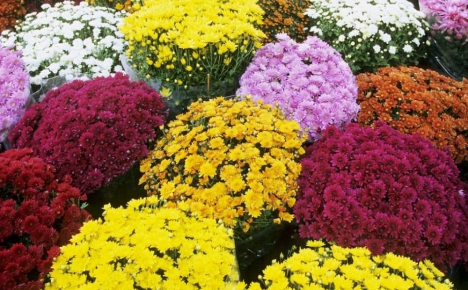 Variété de chrysanthèmes d'automne en forme de dôme: jaune, orange, rouges, rose et blancs.