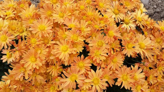 chrysanthème 'Mary Stoker', marguerites jaune abricot