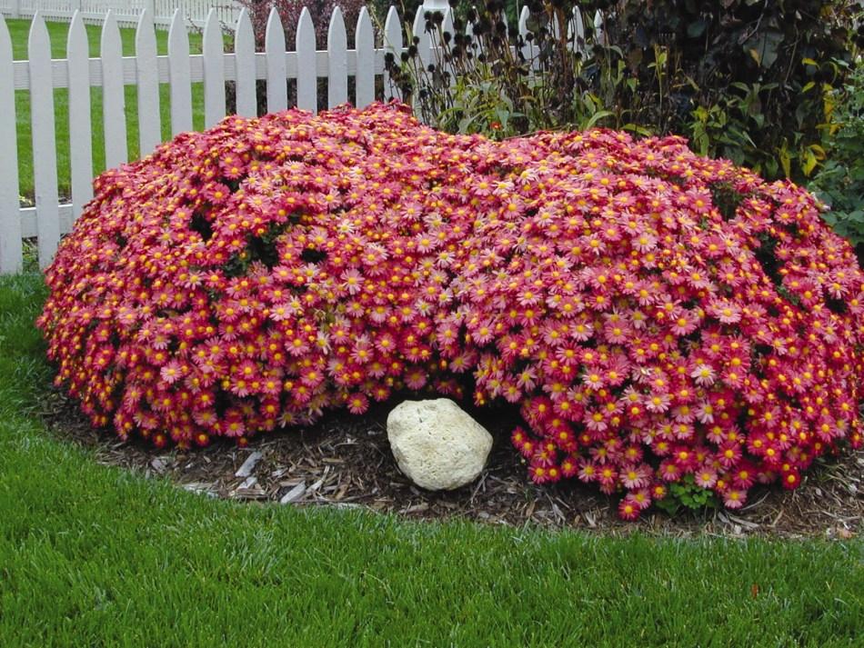 Chrysanthème Mammoth™ 'Coral Daisy' formant un dôme double couvert de fleurs rouge corail à oeil jaune. Gazon vert.