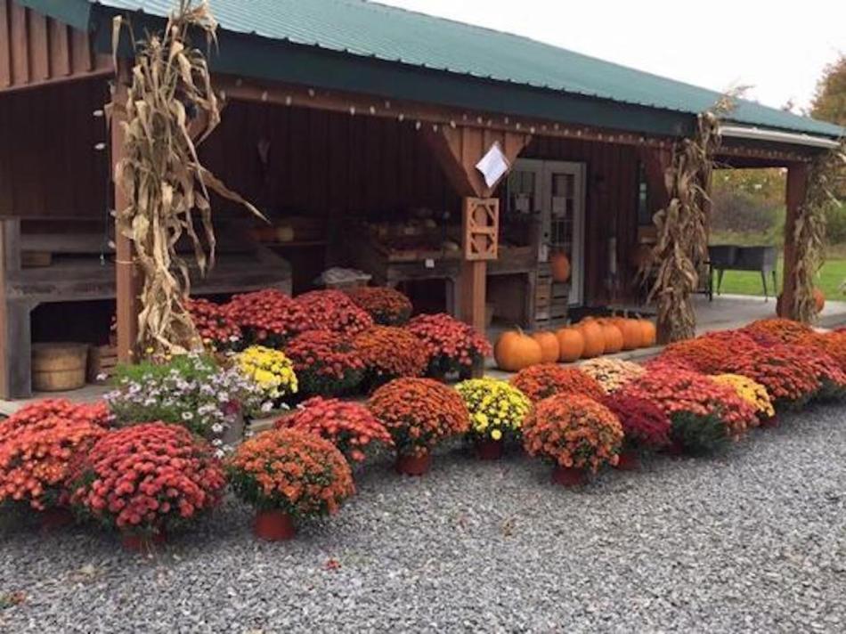 Étalage de chrysanthèmes d'automne à fleurs orange devant une grange. Aussi citrouilles.