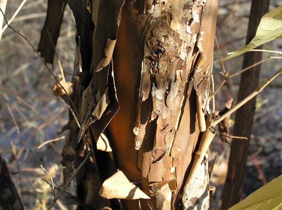 Écorce de physocarpe à feuilles d'obier (Physocarpus opulifolius). teintes de beige et de brun, décollée en lambeaux.