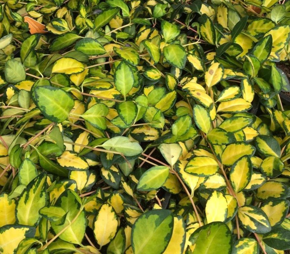 petite pervenche 'Illumination', feuilles jaunes et vertes
