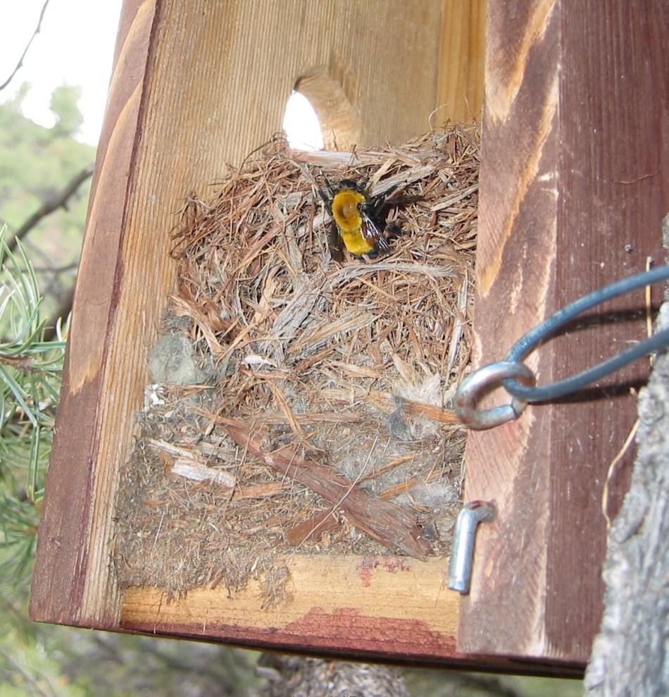 Nid de bourdons dans un nichoir d'oiseaux