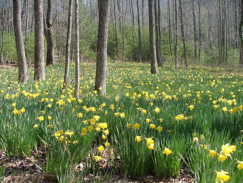Narcisses naturalisés dans un sous-bois.