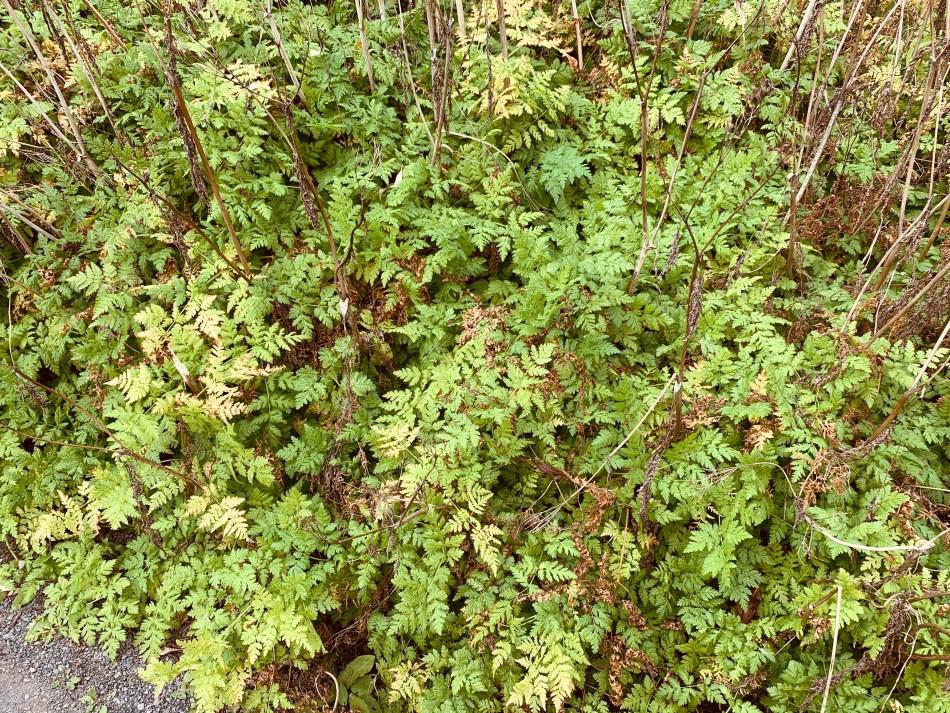 cerfeuil musqué (Myrrhis odoratus) à l'automne