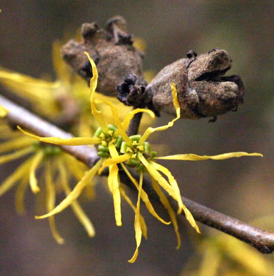 Fleurs et capsules de graines de l'hamamélis de Virginie