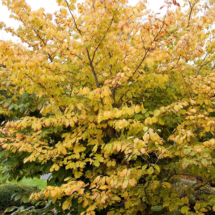 hamamélis de Virginie avec feuilles automnales jaunes